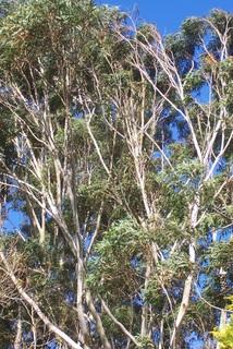 Blackbutt Timber (Eucalyptus Patens)